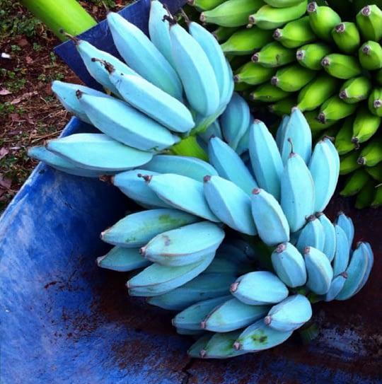 Blue Java banana
